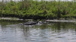 Alligator makes a big splash