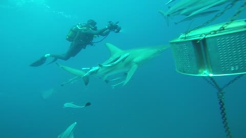 SCUBA DIVER GETS SURROUNDED BY SHARKS!