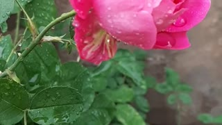 Water drops on a rose in slow motion
