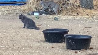 Bobcat, Cat, and squirrel