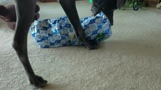 Great Dane opens Christmas present