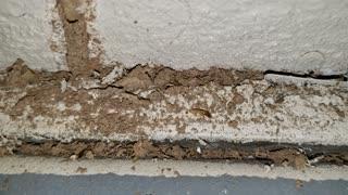 Subterannean Soldier Termite Guarding Shelter Tube