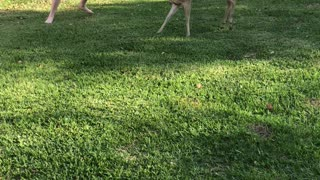 Boy Plays Tag With Deer in Backyard