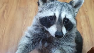 Adorable pet raccoon chows down on tasty rice cake