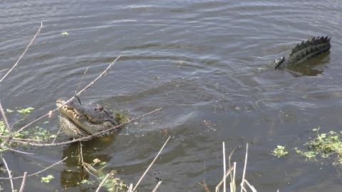 Large alligator growling during breeding season