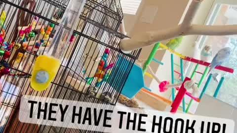 Parakeets of Rumble
