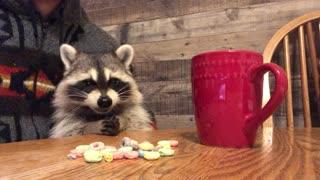Baby Raccoon Munches Fruit Loops for Breakfast