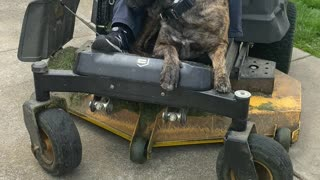 Dog Comes Along for a Lawn Mower Ride