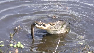 American alligator eating a large brown water snake