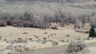 Elk Leisurely Graze on Grass