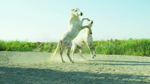 Horse France Camargue animal Stallion Gelding fighting wild