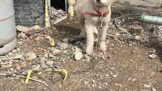 Korean traditional puppy