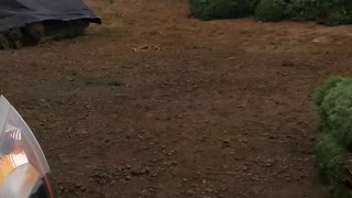Helicopter Unloading Christmas Trees for Delivery