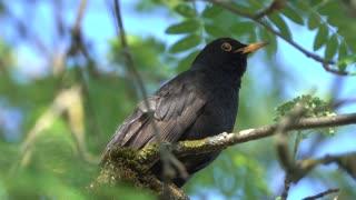 Singing Black bird, pet, animals