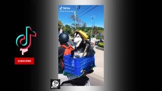 Funny Huskies Compilation