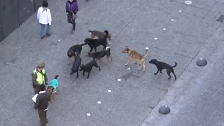 MUST SEE!! POLICE DOG ATTACKED BY PACK OF STRAY DOGS-