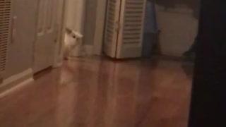 Rabbit hops across room from doorway wooden floors