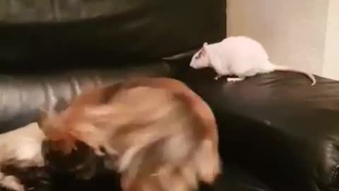 Dog, Rat and Cat Play Fighting