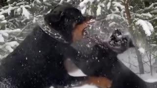 rottweiler x panther puppy