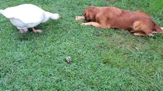 Goose vs. Golden