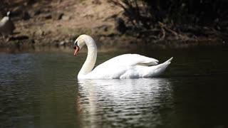 a beautiful swan paddling in the lake