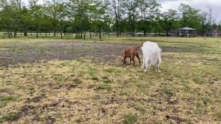 German shepard attacks pitbull