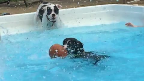 boxer puppies in water
