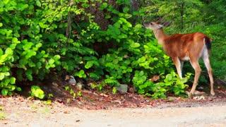deer eating leaves 2021