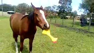 Horse Playing with a Rubber Chicken
