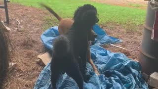 Malinois dog accidentally gets wrapped in tarp