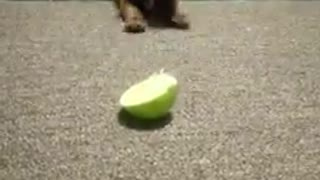 Puppy Verses a Lime