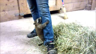 Rescued Baby Raccoon Loves Climbing Owner's Leg