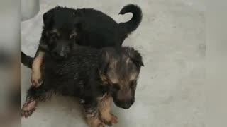 Adopt German Shepherd puppies!