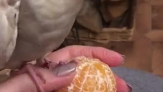 Cockatiel flawlessly whistles 'Addams Family' theme song