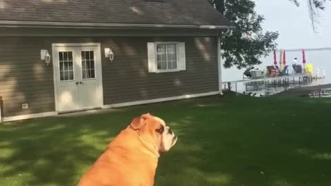 English Bulldog loving the sun