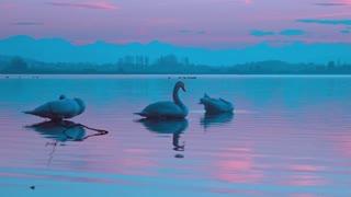 Beautiful swans very nice