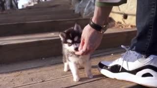 teacup husky puppy