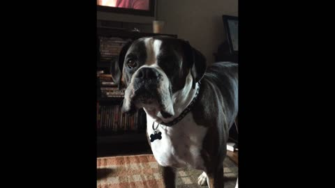 Boxer dog wants dinner on time