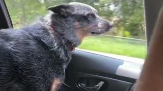 Dog Biting at Oncoming Traffic