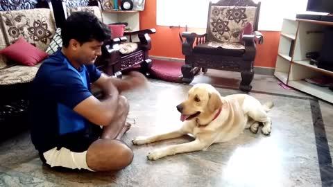 Labrador dog training, Tricks, Tarikere, Chikamaglore