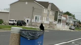 Dumpster Diving Raven