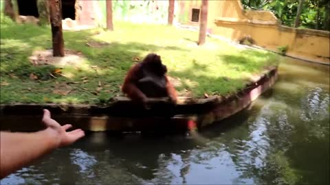 Orangutan hurls rocks for treats