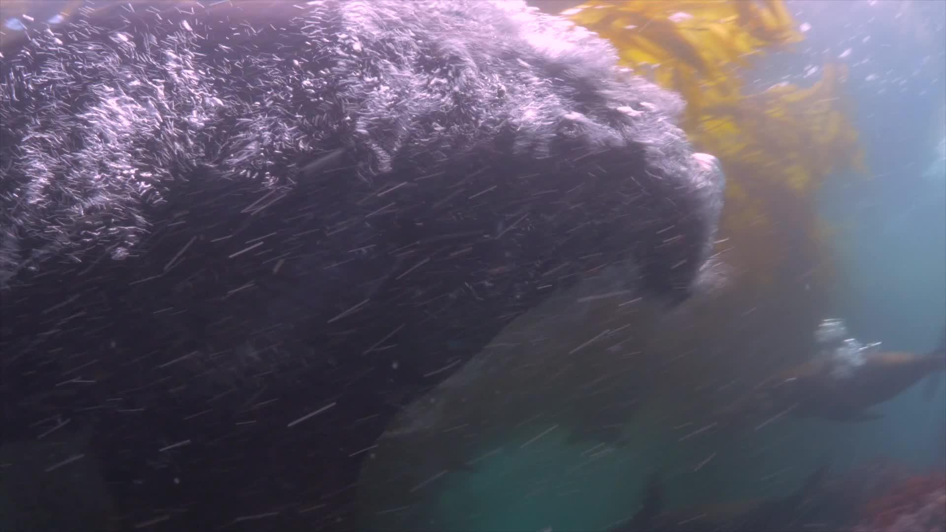 Her angriper sjøløven