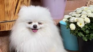 The beauty of small dogs is very beautiful.