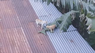 The most dangerous battle between cats