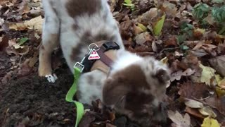 Cute puppy really loves digging in the mud