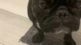 This French Bulldog has an irrational fear of bath bubbles