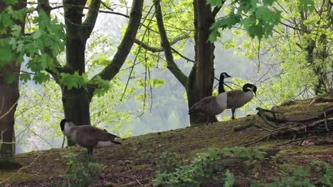 Watch beautiful geese wandering under the trees near the lake