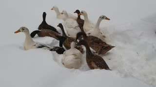 First Snow for Baby Ducks