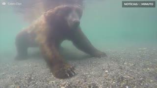 Urso captura salmão com as próprias patas